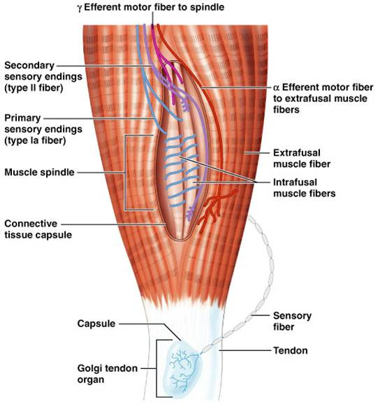 المغزل العضلي: Muscle spindle