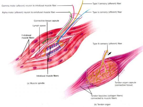 Muscle Spindle & Tendon Organ