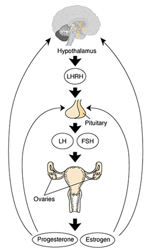 Interrelations of the hypothalamus of the brain, pituitary gland & ovaries